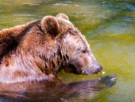 European brown bear, its scientific name is Ursus arctos