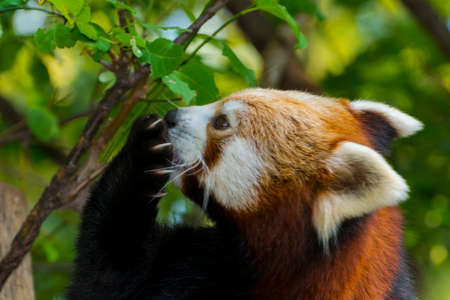 Red or Lesser Panda is resting on a tree