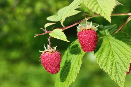 The ripe raspberry on the branch photo