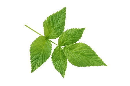 raspberry leaf isolated on white background  Stock Photo