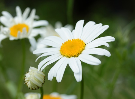 White daisy on a meadow