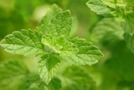 melissa or lemon balm leaves Stock Photo