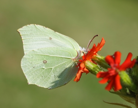 rhamni: butterfly Gonepteryx rhamni or Common Brimstone on flower Stock Photo