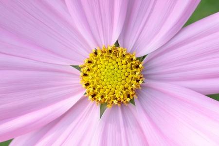 Closeup pink kosmeya Stock Photo