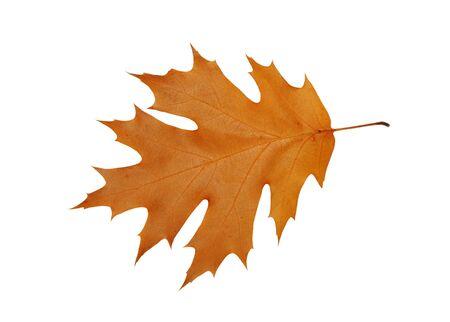 Autumn oak leaf isolated on white
