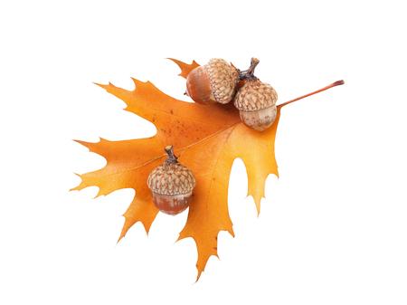 Autumn oak leaf and three acorns isolated on white