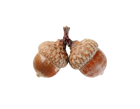 Two  acorns isolated on white