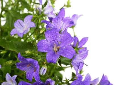 Campanula bell flowers with water drops after rain on white background
