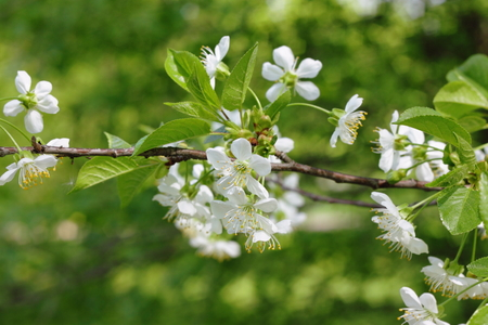 Twig with white flowers of cherry Stock Photo