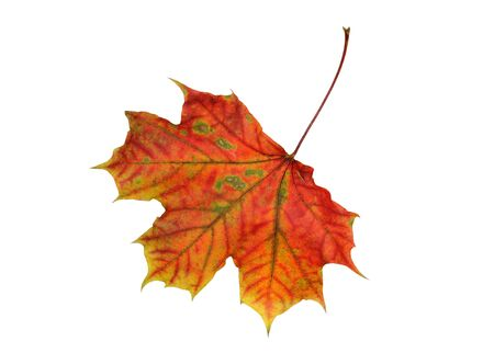 Colorful vibrant maple leaf isolated on white