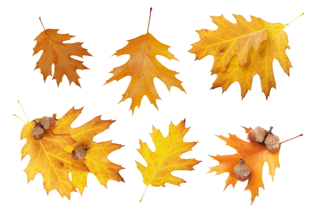 set of autumn oak leaves