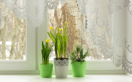Spring still life on window with daffodils and rosemary