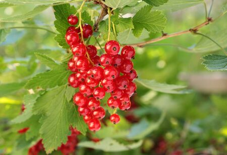 Redcurrant on brunch