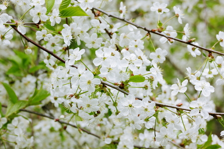 Twigs with white cherry flowers Stock Photo