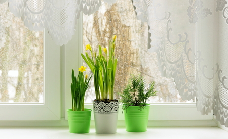 Still life on window with daffodils and rosemary
