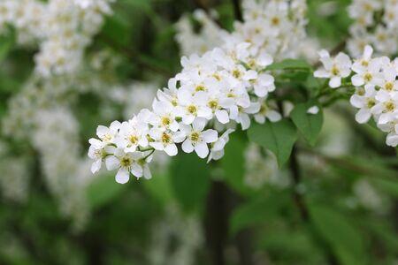 White flowers of bird cherry