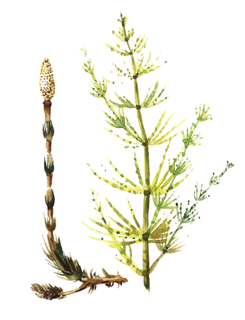 arvense: Equisetum sylvaticum. Horsetail in watecolor. Vector hand drawn sketch of medicinal herbs, forest grass isolated. Arvense. Horsetail. Snake grass. Equisetum.