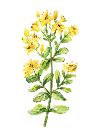 wort: Tutsan watercolor drawing. St. John wort branch. Hand drawn healing herb. Vector colourful illustration of medical plants.