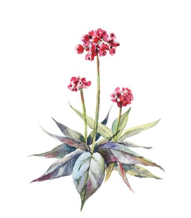 Watercolor ginseng buch. Vector ginseng bessen op een witte achtergrond Vector Illustratie