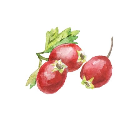 tea rose: Hand-drawn watercolor rosehips on white background. Vector illustration of berries. Isolated tea rose, red berries with leave Illustration