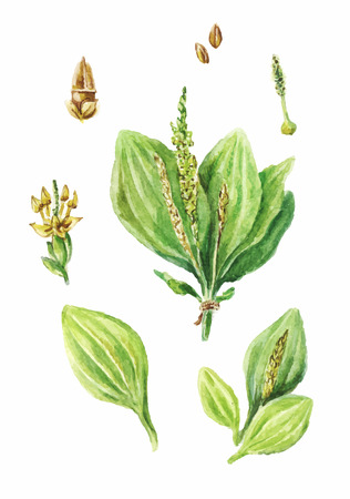 Colorful watercolor drawing of plantain isolated on white background. Hand drawn plantain. Illustration of  healing herbs.  Flower and leaves of the plantain  イラスト・ベクター素材