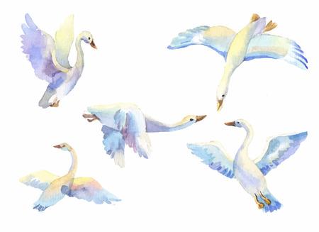 pajaro dibujo: cisnes volando en acuarela color de la luz. Conjunto de p�jaro que vuela en diferentes poses. Aves en el paso, aves silvestres, s�mbolo de la libertad, el amor, la lealtad, la familia, la vida silvestre