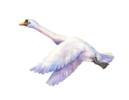 the passage: watercolor hand drawn illustration of goose flying. Watercolor poultry isolated on white background. Bird of passage fly.