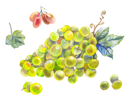 Watercolor branch of grapes with leaves. Hand painted botany illustration