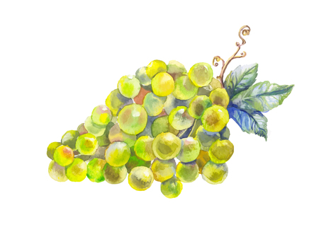 white grape: Watercolor bunches of grapes. Hand drawn sketch, illustration.Watercolor branch yellow grapes, isolated on white background.