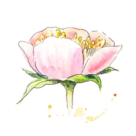 stamen: Peony with stamen in watercolor. Watercolor painting of peony. Sketch in light colors.