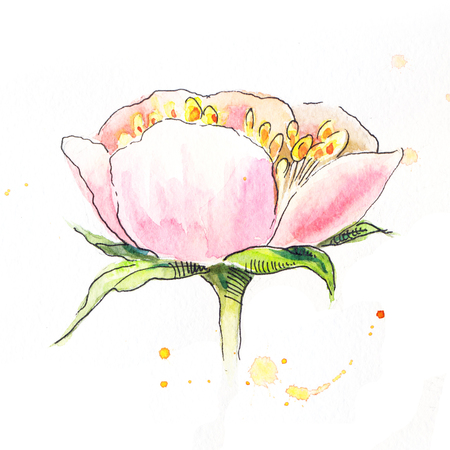 pion: Pink peony in watercolor. Side view of the head of the pion. Sketch of pink peony