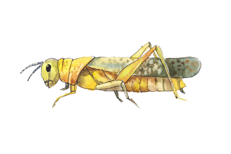 locust: Grasshopper sketch. Hand drwan watercolor sketch of grasshopper. Big yellow grasshopper.