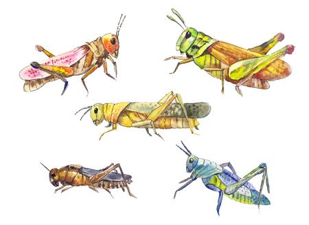langosta: establece Locust. Mano langosta dibujado aislado en blanco. Conjunto de insectos dibujo acuarela. Foto de archivo