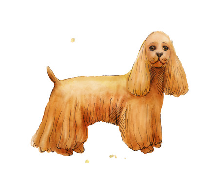 cocker spaniel: Watercolor drawing of Cokcer Spaniel. Brown cute dog illustration. Cocker Spaniel puppy isolated on white background.