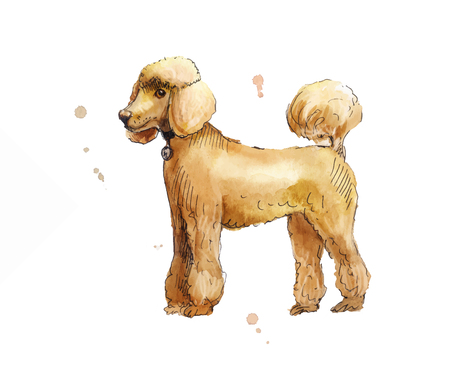 pet store: Drawing poodle in profile. watercolor illustration. Suit for pet store, pet food, dog show, animal shelter, hotel for pets, training dogs.