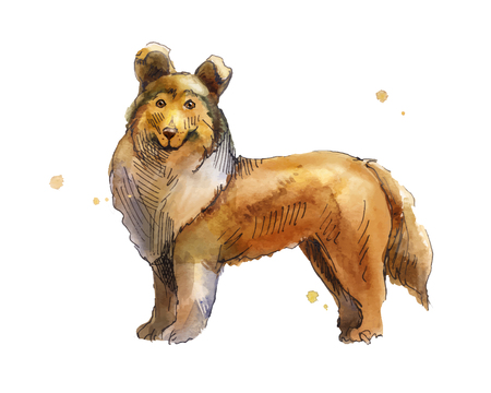 Shetland Sheepdog. Drawing by hand in watercolor. Sketch low brown dog looking at the viewer. illustration with sheltie on a white background .