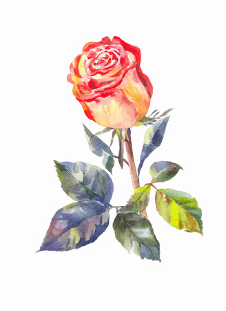 orange rose: orange rose in watercolor. Orange rose isolated.