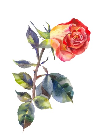Orange rose in watercolor. One red rose isolated on white. Suit for invitation, postcard, wedding design, etc. Illustration