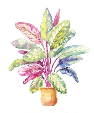 indoor garden: Potted plant of Calathea makoyana, isolated on a white background. Calathea illustration in watercolor. Calathea sketch in a pot