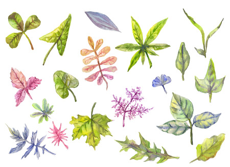 rowan tree: Collection of floral elements, leaves in watercolor. Wedding, spring or summer collection. Suit for invitation or greeting cards, organic background, natural packing, botany illustration. Hand drawn isolated herbs.