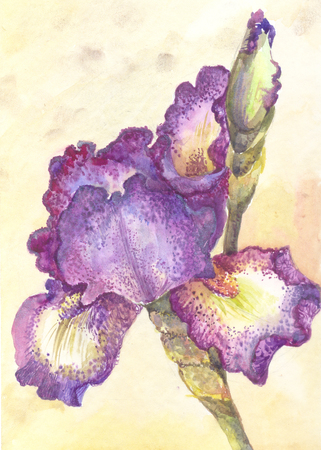 Purple iris in watercolor. One flower on yellow background. Hand drawn illustration. Stock Photo