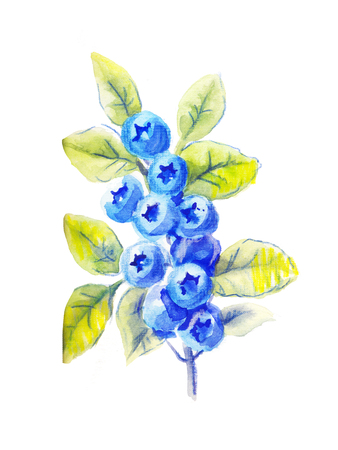 a sprig: one sprig of blueberries in watercolor, hand drawn illustration in color pencils Stock Photo