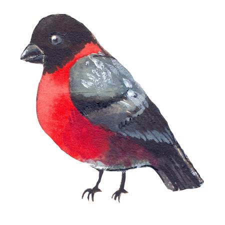 cristmas: Cristmas bullfinch watercolor illustration, red bird Stock Photo