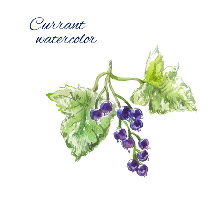 blackcurrant: Blackcurrant watercolor Stock Photo