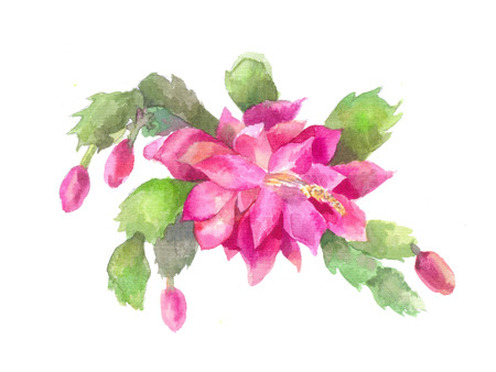 Schlumbergera, Zygocactus or Christmas flower. Pink cactus, watercolor illustration. Sketch of succulent isolated