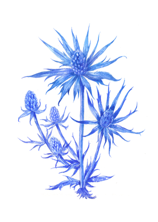 Feverweed . Watercolor illustration. Medicinal herb isolated on white. Blue Prickle.