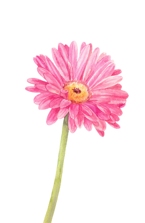 Pink watercolor gerbera isolated on white background. Flower illustration suitable for interior sticker.  스톡 콘텐츠