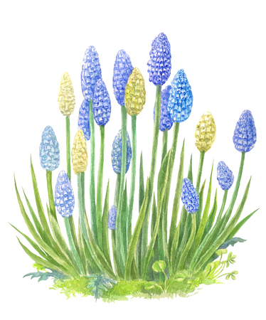 A bush of blue flowers resembling hyacinths. Watercolor illustration suitable for postcards, invitations or any spring or summer design