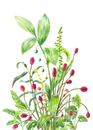 sanguisorba: burnet, lily of the valley, stone bramble. Sanguisorba, Convallaria majalis, Rubus saxatilis. Botanical watercolor illustration