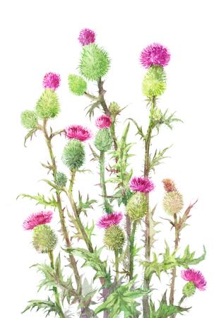 엉겅퀴, Carduus. 화이트 절연 의료 등뼈의 수채화 식물 그림. 비정상적인 꽃다발 스톡 콘텐츠 - 83037185